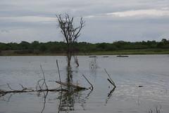 AUDE PRXIMO ONDE OS RETIRANTES SE ARRANCHARAM (erivannlima@yahoo.com.br) Tags: de do foto da cerca seca rvore dentro parte aude mostrando submersa cajazeiras