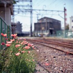 Tsurumi Line #01* (Momota.M) Tags: flower 120 6x6 film rolleiflex railway osanpo kanagawa portra momotam