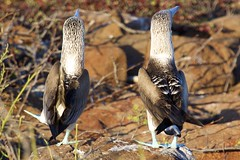 Blue Footed Booby (Sula nebouxii) Dance (Left Foot In)