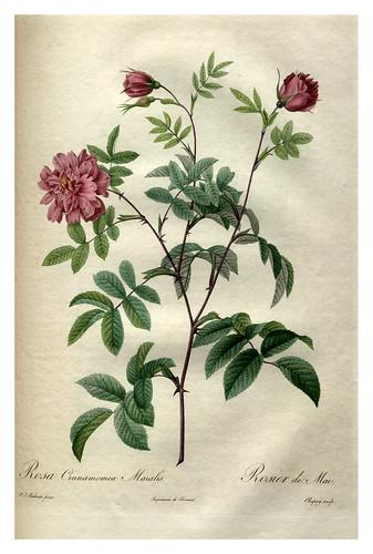 017-Les roses 1817-1824- Pierre-Joseph Redouté