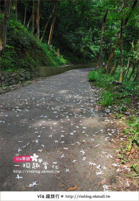 【苗栗油桐花季】苗栗頭屋~夢幻桐花步道5