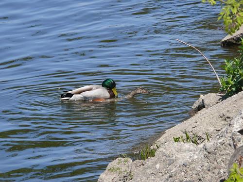Ducks Amok II
