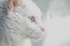 Rose (MissTessmacher) Tags: pet animal cat nikon xyz 105mmf28 d90