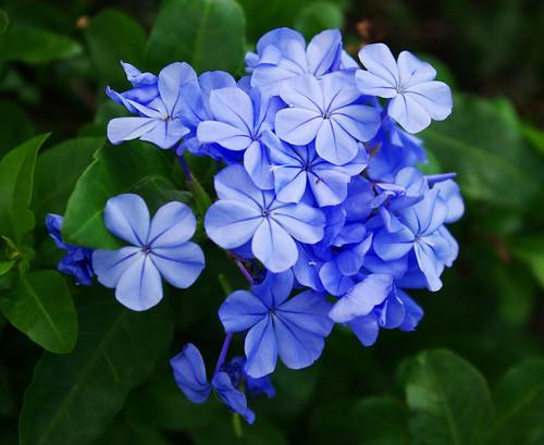 フリー写真素材, 花・植物, アジサイ科, 紫陽花・アジサイ,