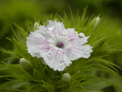 フリー写真素材, 花・植物, ナデシコ科, ビジョナデシコ, 雫・水滴, 白色の花,