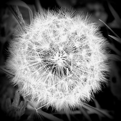 Dandelion (macushla63) Tags: bw white black flower dandelion zwart wit bloem zw paardebloem pluizebol