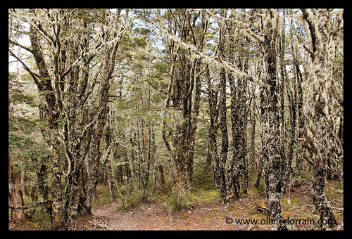 Forest of Mount Bealey - Arthur's Pass, NZ