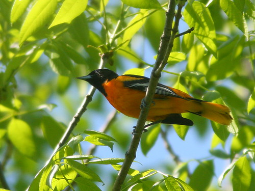 Baltimore Oriole 20100504
