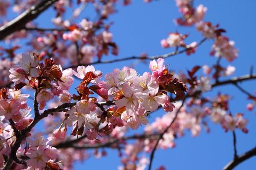桜 - The cherry blossom.