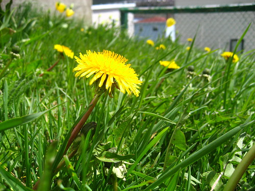 first dandelions of spring