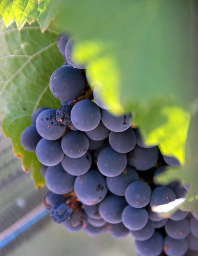 Malbec Grapes in Harvest