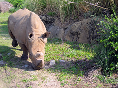 white rhino at animal kingdom