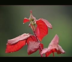 Spring Beauty **-** (AvQuu) Tags: red verde green nature rain drops natureza chuva rosa vermelho gotas thefourseasons roseira botes greatphotographers theunforgettablepictures amiamoci natureselegantshots paololivornosfriends fleursetpaysages flickrsportal