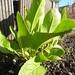 armoracia rusticiana / mierikswortel