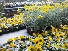 Chilly flowers! (wallygrom) Tags: england snow westsussex pansies euryops aprilsnow angmering euryopspectinatus april2008 manornursery
