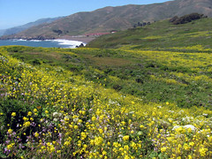 Marin Headlands (danieljsf) Tags: ocean california flowers terrain yellow weeds hills pacificocean goldengate winner marincounty wildflowers hilly marinheadlands nationalrecreationarea winningphoto flickrchallengegroup specialchallenge thechallengegame challengegamewinner