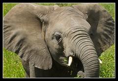 Close (Judith Nicolai) Tags: africa baby tanzania child wildlife young afrika elephants olifant 2010 africansafari serengetinp mywinners bfgreatesthits judithnicolai