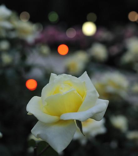 靱公園 A Rose