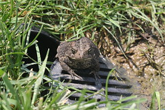 Toad (Mike Matney Photography) Tags: canon rebel illinois backyard midwest stlouis amphibian troy toad xs eos1000d