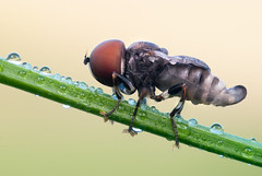 Newly emerged Pipunculid (johnhallmen) Tags: macro insect fly naturallight makro nrm diptera heliconfocus sb400 fujifilms5pro pipunculidae nikonpb6 leitzmilar65mmf45