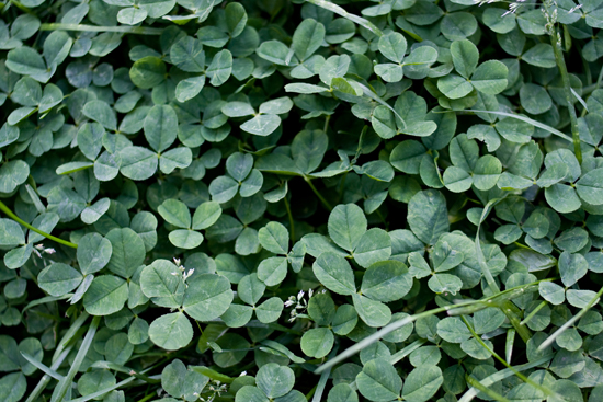 a clover patch
