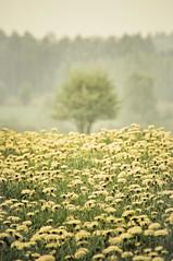 My Spring Feeling (IV) (Monsieur Nounou) Tags: blur tree field season spring belgium lorraine dandelions champ pissenlits