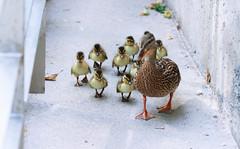 DUCKS IN OTTAWA (..::~ZARA STILLS + MOTION-OTTAWA VELO VOGUE~::..) Tags: canon furry ottawa ducks ducklings quack duckies 135mm quackquack babyduck mamaduck