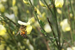 Elfenbein-Ginster (Cytisus praecox) - by blumenbiene