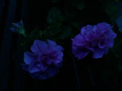 My pink Double Wave petunia at twilight (Peachhead (4,000,000 views!)) Tags: blue summer flower night dark evening twilight blossom bloom petunia ysplix doublewavepetunia