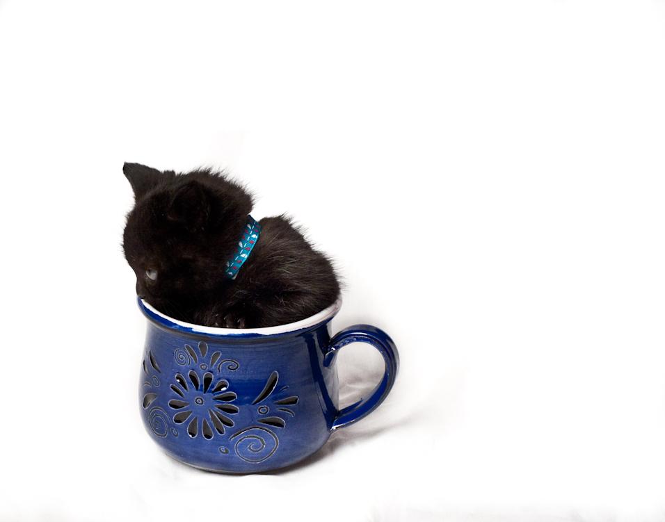 Teacup Kitten I