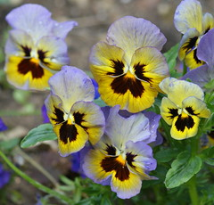 A bunch of pansies! DSC02846-1 (Pitzy's Pyx, keep snapping away!.) Tags: poppies mygarden flamingjune