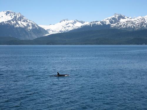 orca killer whale juneau