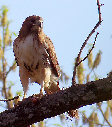red-tailed hawk perched with meal