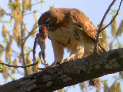 red-tailed hawk getting his meal to-go