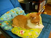 Cats' pillows (Bibi) Tags: orange cat furry chair chat laranja pillows gato truffaut gatinho cadeira chaton peludo laranjinha travesseiros