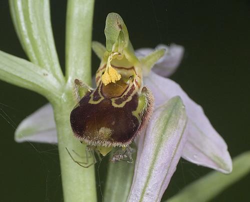 orchidées et araignées - Page 3 4683340114_9abf70451f