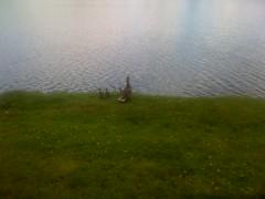 Wee ducks