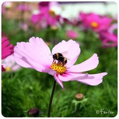 BEE (Fänfän) Tags: pink flower fleur rose flor rosa belfast irland bee abeja abeille irlanda irlande fänfän ltytr1