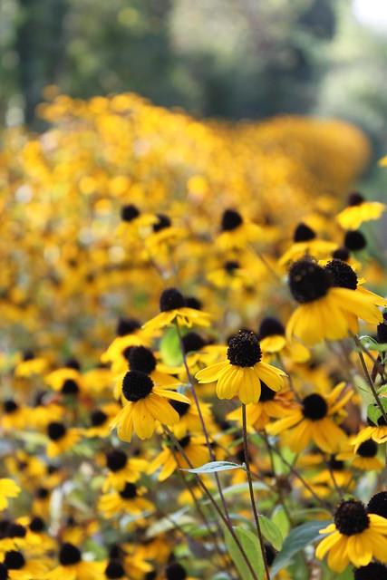 Sonnenhut Rudbeckia an der Limmat