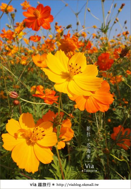【2010新社花海】via帶大家欣賞全台最美的花海!18