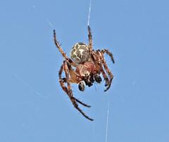 Orb Web Spider - Larinioides cornutus (Prank F) Tags: macro closeup bug insect spider web orb wildlifetrust larinioidescornutus summerleys northantsuk