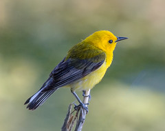 Prothonotary Warbler (tresed47) Tags: 2017 201706jun 20170628johnheinzbirds birds canon7d content folder johnheinznwr june pennsylvania peterscamera petersphotos philadelphia places prothonotarywarbler season spring takenby us warbler