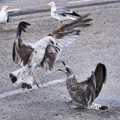 Esta juventud pendenciera y rebelde #gaviota #gaviotas #seagulls #gulls #charadriiformes #gabbiano #aves #birds #pajaros #birdsofinstagram #puertodebarcelona #portdebarcelona #laridos #larus #laridae #pelea #fight (Carolina_BCN) Tags: gaviota gaviotas seagulls gulls charadriiformes gabbiano aves birds pajaros birdsofinstagram puertodebarcelona portdebarcelona laridos larus laridae pelea fight