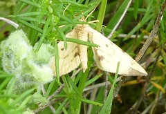 Moth (Steeple Ducks) Tags: butterfly butterflies wiltshire upton scudamore a350 bank embankment verge road