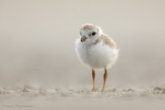 Piping Plover chick (Photosequence) Tags: shorebird waders united states usa beach shore muhammad faizan photography