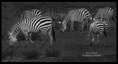 Grazing in Pajamas (Visions by Vincent) Tags: zebras equine monochrome blackwhite zoo