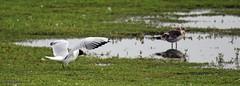 J78A0511 (M0JRA) Tags: birds parks gardens rspb lakes ponds fields trees nature snakes adda