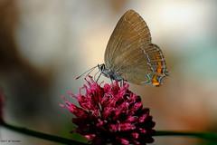 La Thécla de l'Yeuse. (jpto_55) Tags: papillon macro bokeh xe1 fuji fujifilm fujixf55200mmf3548rlmois hautegaronne france thecla thecladelyeuse