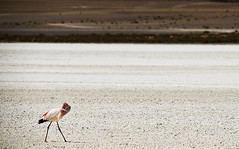 Flamingoes on Laguna Hedionda, Reserva Eduardo Avaroa, Bolvian Desert, Bolivia (anthonyasael) Tags: anthonyasael asael bolivia southamerica latinamerica america lagunahedionda boliviandesert reservaeduardoavaroa water lake salty minerals salar salt saltlake pattern nature beautyinnature desert arid dry landscape nationalpark nationalreserve naturalwonder scenic bird flamingo phoenicoparrusjamesi jamessflamingos phoenicoparrusandinus andeanflamingos animal animalinthewild animaltheme alone freedom white horizontal nobody topa