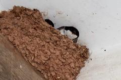 Take off.         #nature #wildlife #actionshot #nest #housemartin #swallow #swift #rspb #nikon #birds (angusharris2) Tags: nature wildlife actionshot nest housemartin swallow swift rspb nikon birds